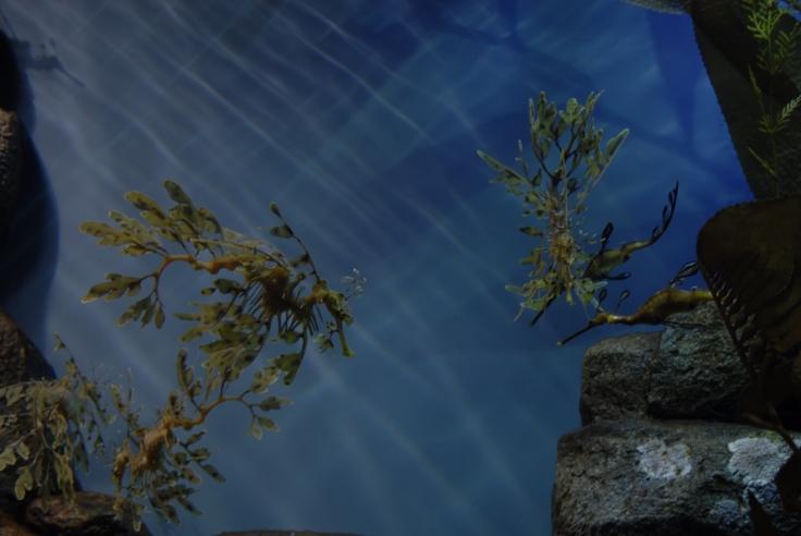 Leafy Sea Dragon 2